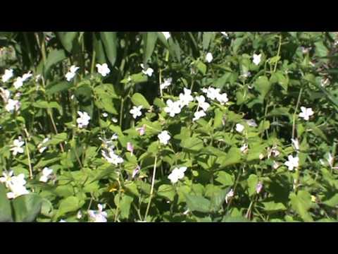 Minnesota Native Plant - Canada Violet (Viola Canadensis)