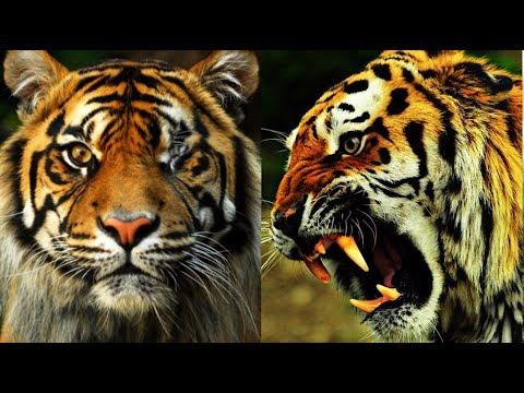 شاهد قوة وشراسة النمر الفظيعة ملك الوحوش - HD