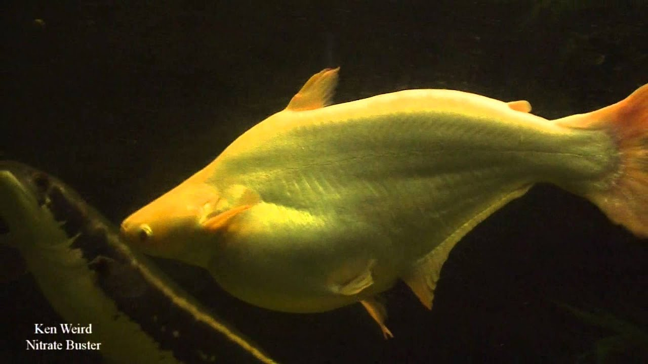 Giant Albino Iridescent Shark In a 600 gallon - YouTube
