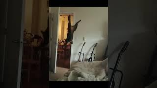 Cat Backflips off Bed 1027531