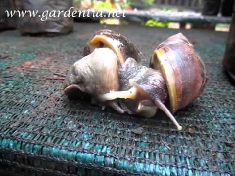 Mating of African Giant Snail (Achatina fulica)
