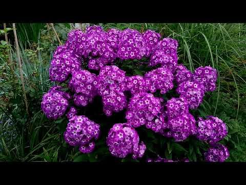 Флокс метельчатый Выращивание Уход Пример использования в цветнике