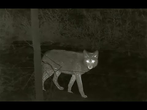 Thermal Predator Hunting: 30 Coyotes Down with the Rico MK1 Some of the best HD Thermals Kills EVER!
