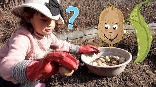 꼬마농부? 라임이의 감자와 완두콩 심기 도전! | 농부 직업체험 놀이 LimeTube & Toy 라임튜브