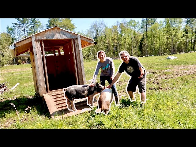 This is HOW we MAKE the best BACON on our BACKYARD FARM Moving Pigs to New Pasture