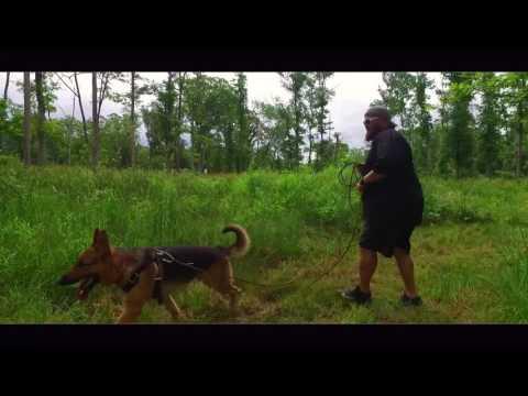 German Shepherd, Jake!   Day 2 of Tracking!  Dog Tracking Training in Virginia