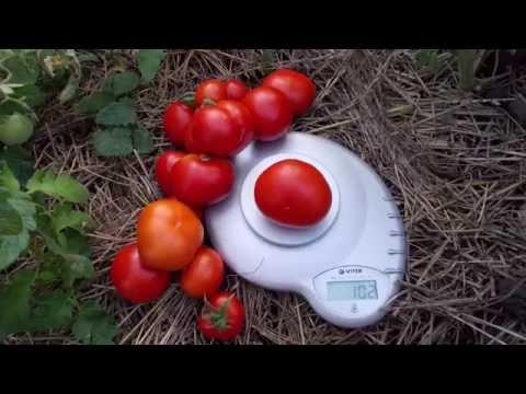 Сорт томата Сибирский скороспелый красный