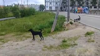 Своры собак на детской площадке в Охе