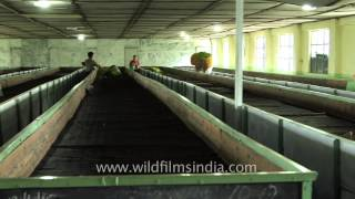 Tea leaves drying in withering troughs at Glenburn Tea Estate: Darjeeling
