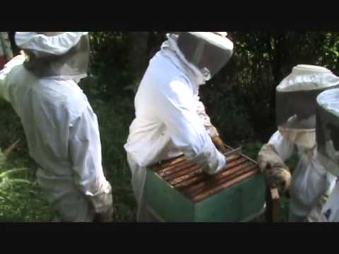 jose luis ''el mayimbe'' capturando una colmena de abejas de YouTube · Duración:  3 minutos 19 segundos  · Más de 104.000 vistas · cargado el 20.06.2011 · cargado por Wilfredo Moisés Bautista