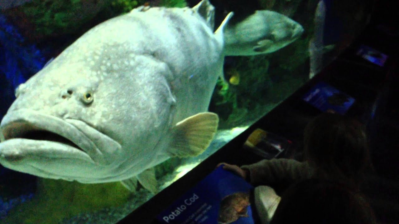 huge grouper fish at Toronto Ripley s aquarium
