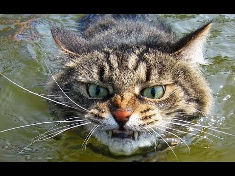I BET YOU HAVEN'T SEEN ANYTHING FUNNIER than these CATS - FUNNY CAT compilation