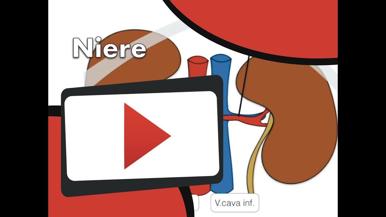 Niere - Anatomie: Grundlagen - YouTube