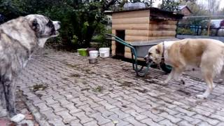 Как ругаются алабаи (САО)/ Dog dispute