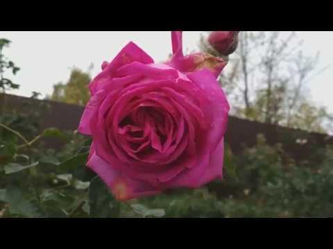 Подготовка роз к зиме.  Часть 1. Удаление листьев.