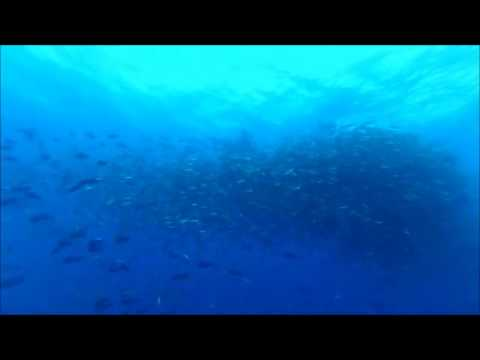 Palau   Red Snapper Spawning