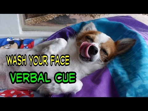 Dog Trick Tutorial- Dog Wash Face On Command/ Teach Dog To Cover Eyes Using Verbal Cue