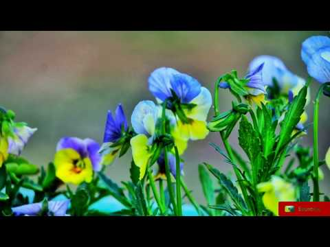 Spring Kashmir || Flowers Photography || Tulip || 2018 || BACK BENCHERS