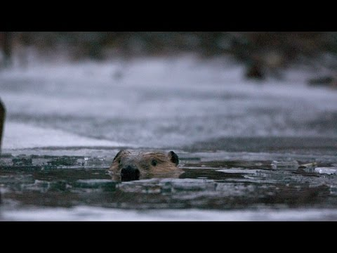 Beavers Behaving Badly: Natural World - Trailer - BBC Two