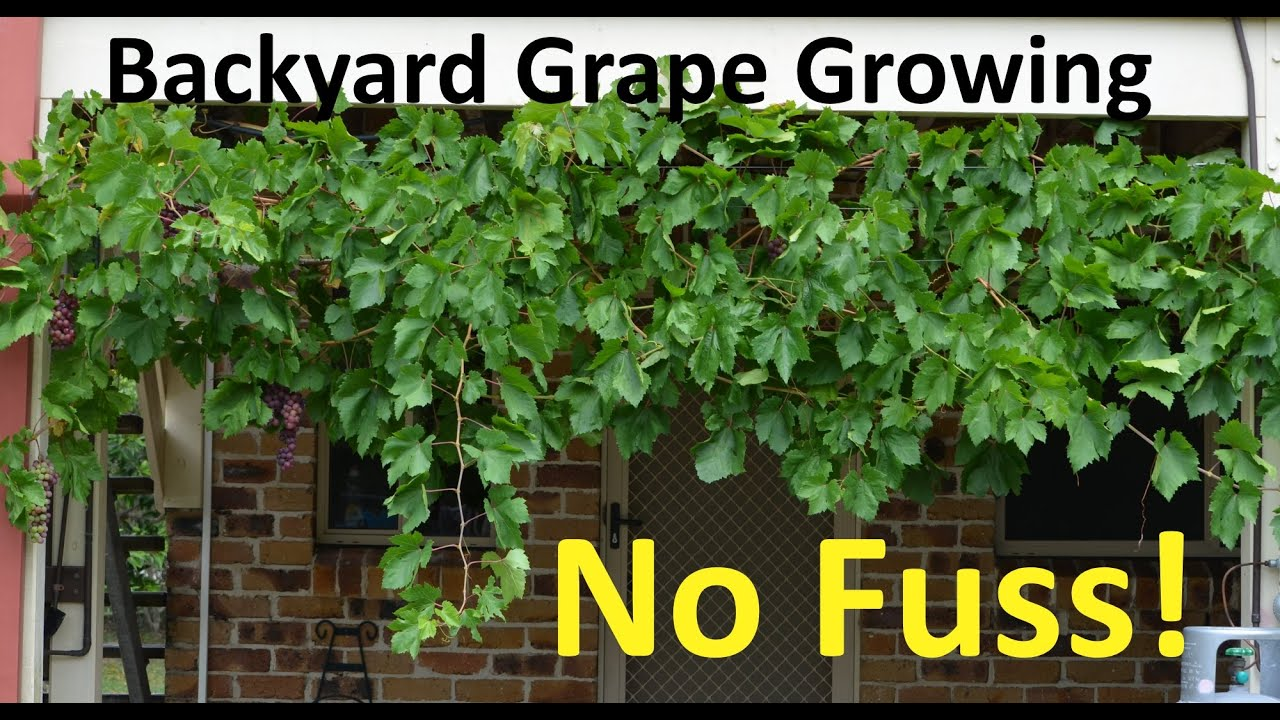 No Fuss Backyard Grape Growing Pruning Propagating - YouTube