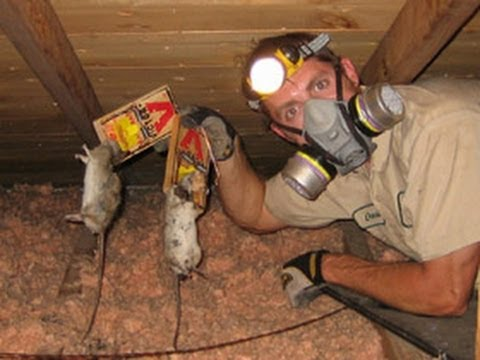 How To Get Rid Of Rats How To Kill Rats How To Catch A
