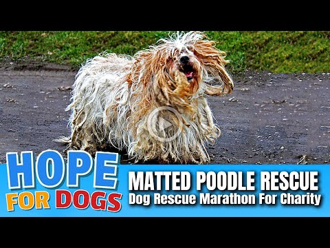 Hope Rescues Matted Poodle After Crazy Chase!