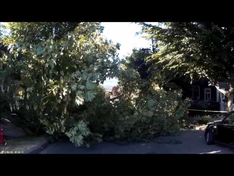 traffic: wind snaps old tree in two