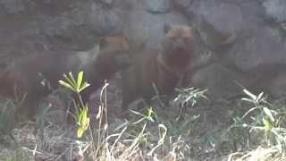 神奈川県のよこはま動物園ズーラシアのヤブイヌです。