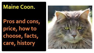 Maine Coon. Pros and Cons, Price, How to choose, Facts, Care, History