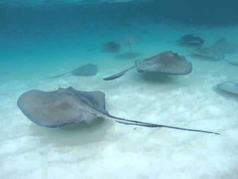 Grand Cayman Island - Stingray City Swimming - The Thomson Dream - Cruise