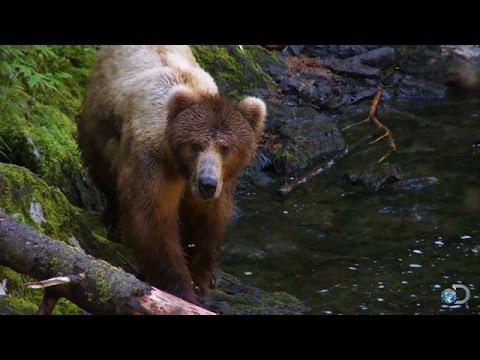 Fishing With Kodiak Bears