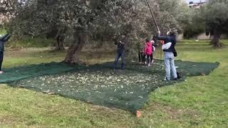 Camminata fra gli ulivi a Termoli