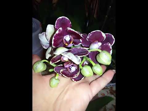 новый 26/привоз сортовых Орхидей