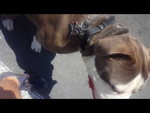 Kountry, 1 Year Old, Pitbull/American Bulldog Mix, Jumping, Pulling