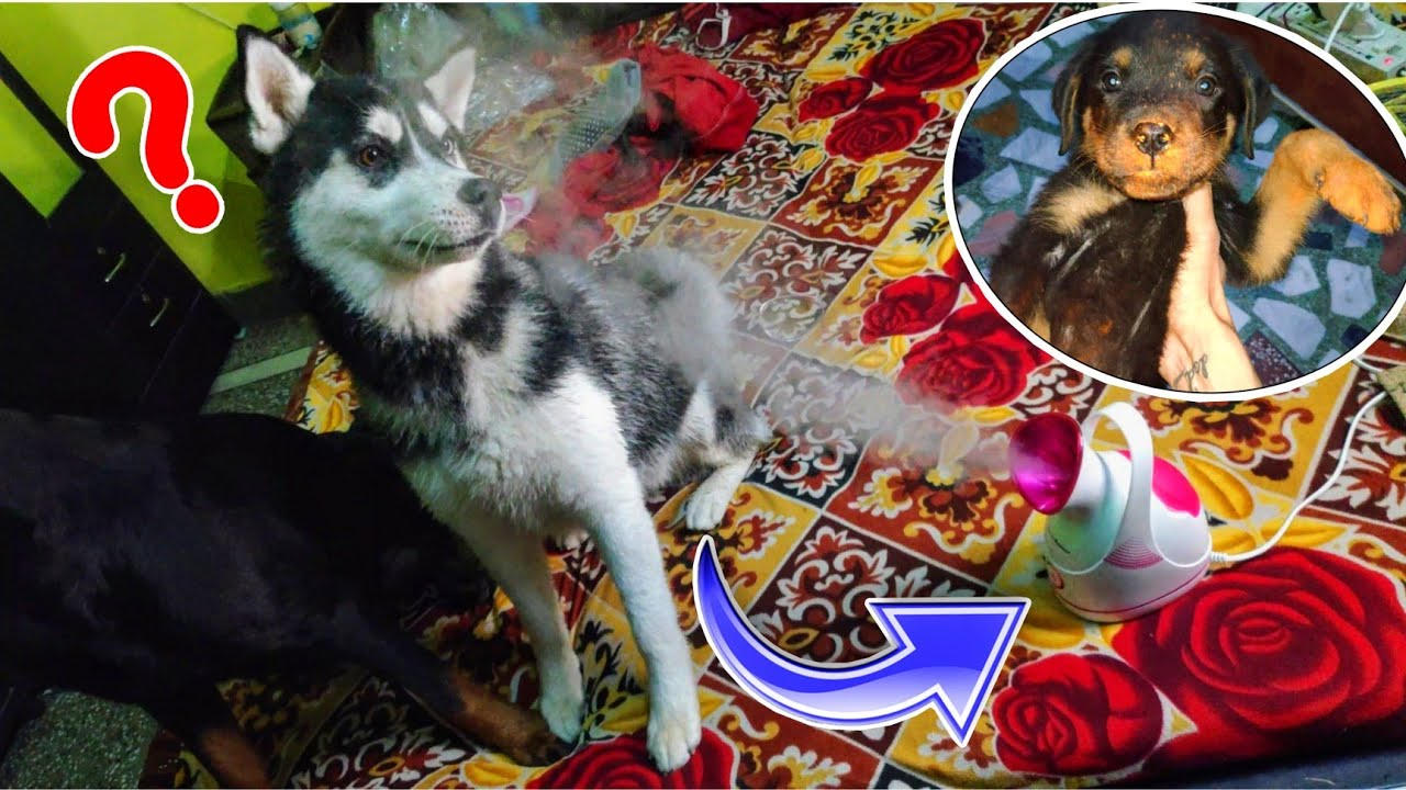 Sultan Or Cheeni ki Holi 🤔. Dog can talk part 92, Roxy ke Puppies, Review reloaded Rottweiler, Husky