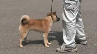 信玄号(JOY.Jr)小型雄部幼犬組に出陣.