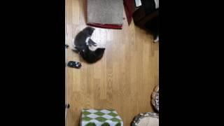 16年6月5日生まれのノルウェジアンフォレストキャットの仔猫.