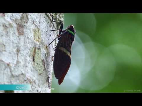 Cicada - Tacua Speciosa