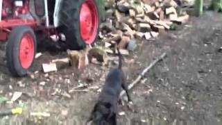 Silly Staffy Forestry Worker