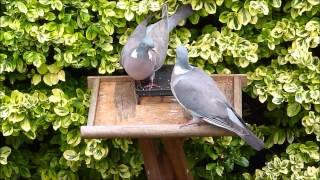 Wood Pigeons & Starlings
