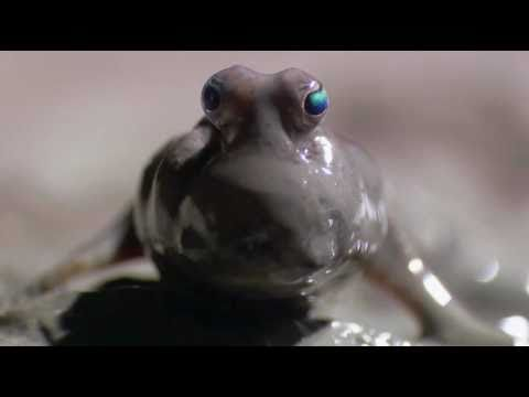 Mudskipper: A Fish That Lives On Land