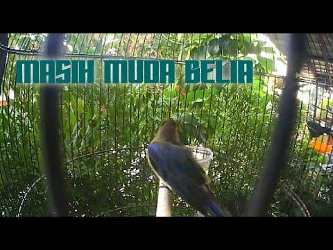 Burung Tledekan Laut Muda Trotol. Bird Singing