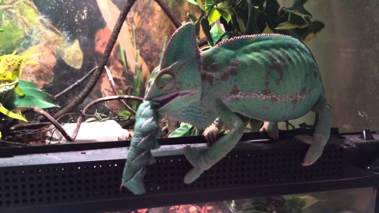 Chameleon Veiled Yellow