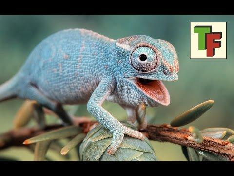 ВЕРНО неВЕРНО - почему хамелеон меняет цвет