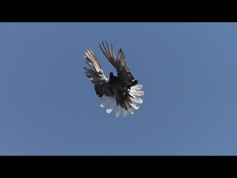 Pigeon farm / Голубиное хозяйство