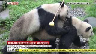 В Китае пандам помогли заняться сексом при помощи фрукта