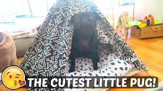 The Cutest Little Pug!
