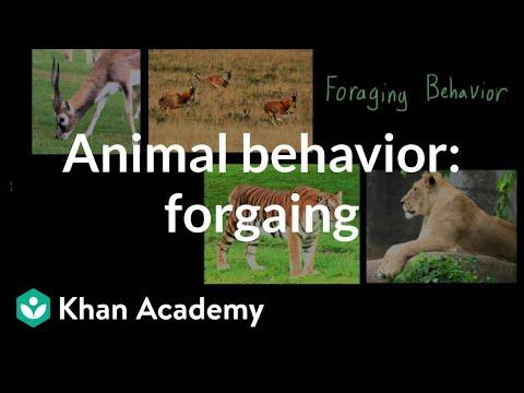 Animal behavior: foraging   Individuals and Society   MCAT   Khan Academy