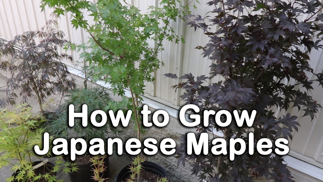 All About Japanese Maples Weeping And Upright Varieties Heights