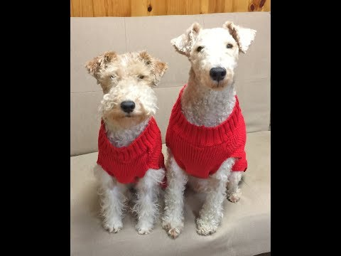 WIRE FOX TERRIERS BRANDY & BRODY:  HASHTAG - WE LOVE TOYS!